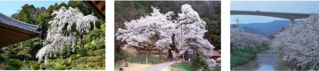 左から医光寺のしだれ桜(益田市)、三隅大平桜(浜田市)、玉湯川桜並木(松江市)
