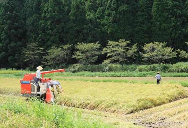契約農家と蔵人による稲刈り