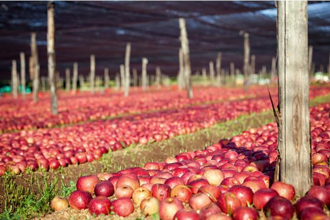 カンパニア地方で生産されるアルヌカリンゴ
