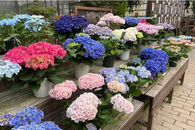 富士花鳥園アジサイミニヒルズ 2021年4月26日撮影 静岡県富士宮市 山梨県との県境近く