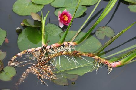 葉菖蒲の根