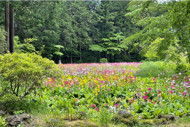 富士花鳥園の九輪草畑 2021年6月1日撮影
