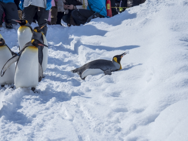 今年すでに初雪の観測された旭川。旭山動物園の冬の人気イベント、ペンギンの散歩も楽しみ♪
