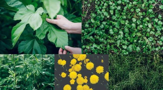 東三河産 5種の植物 左上から時計回りに【桑】【ゴツコラ】【スギナ】【菊】【ヨモギ】