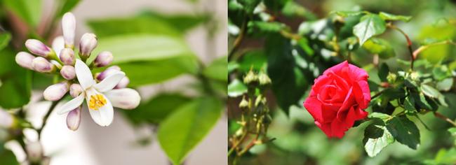 左から【レモン〈花〉】【バラ】