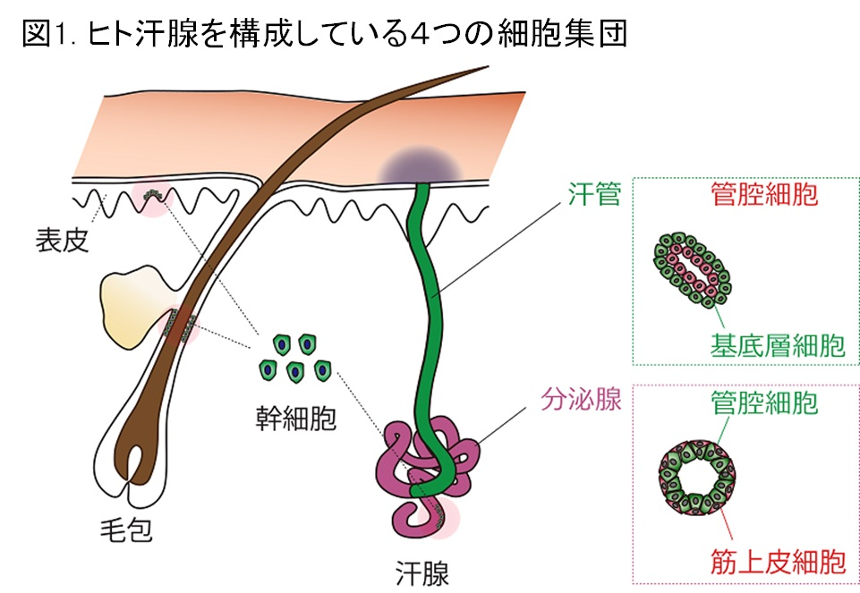 マンダム、ヒトの汗腺幹細胞を発...