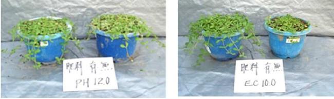 (写真 左:耐アルカリ性(pH12)、右:耐塩性(EC10 塩濃度0.7%)での生育状況)