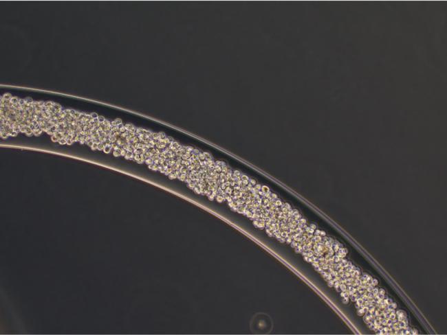 ハイドロゲルで被覆されたひも状細胞塊「細胞ファイバ」の顕微鏡観察像。