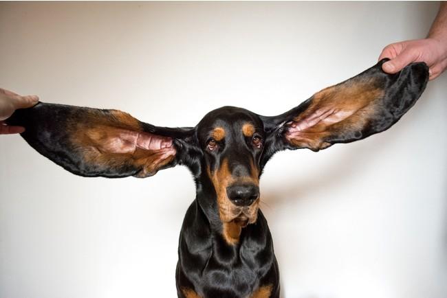 最も長い存命中の犬の耳