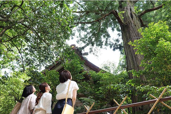 須佐神社大杉