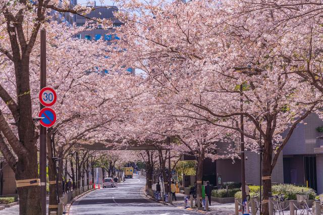 アークヒルズ周辺は桜の名所