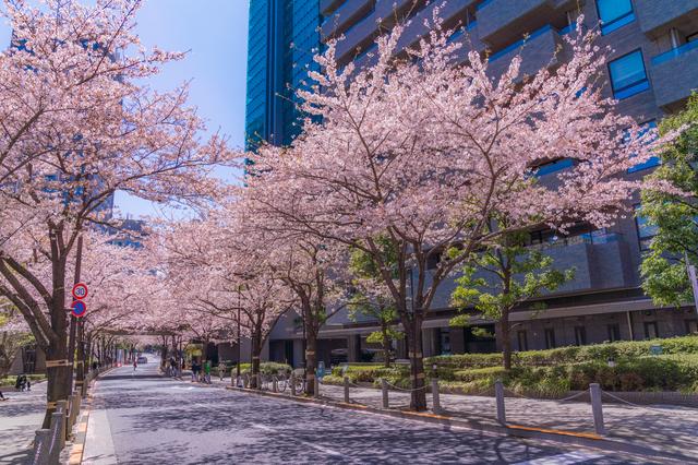 アークヒルズ から泉ガーデンへ 桜散策