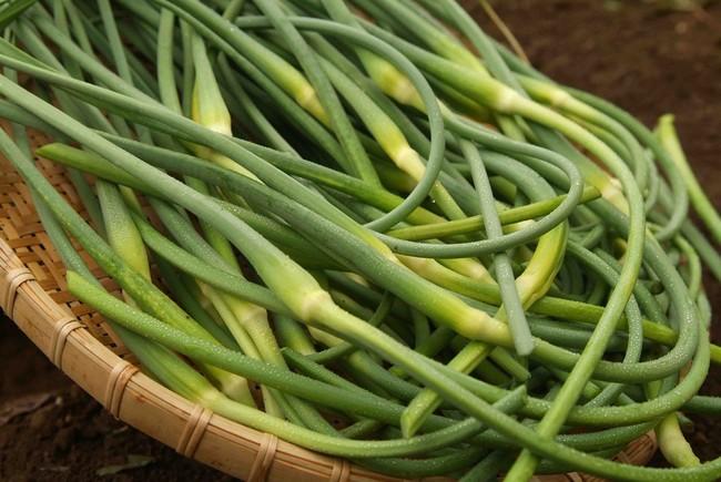 ▲「本多荘輔の情熱にんにく畑」で採れた有機にんにくの芽