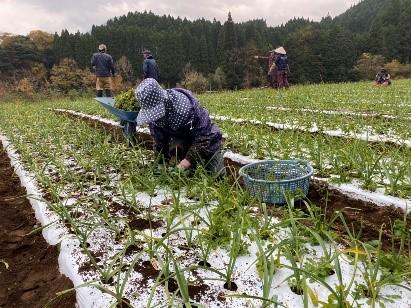 ▶にんにくの有機栽培は、 植え付けから草むしりまで、一つ一つ手作業で、愛情込めて行います