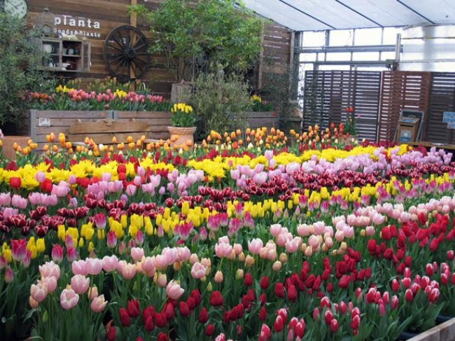 春の花情報も満載! 写真は「神戸フルーツフラワーパーク」のチューリップ