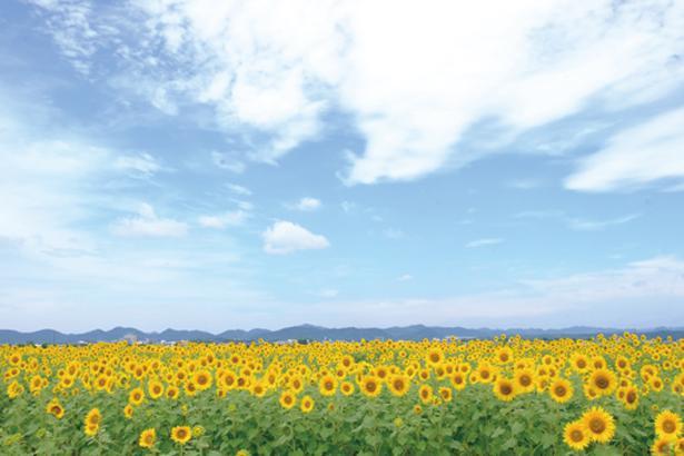 夏の花「ひまわり」ももうすぐ見ごろを迎えます