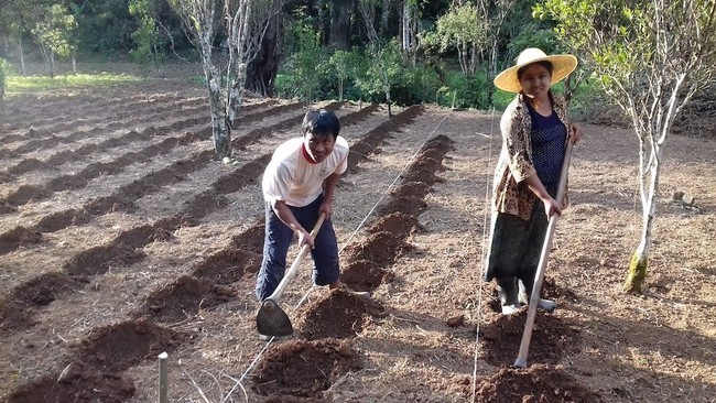 ミャンマーでのハーブ栽培の様子