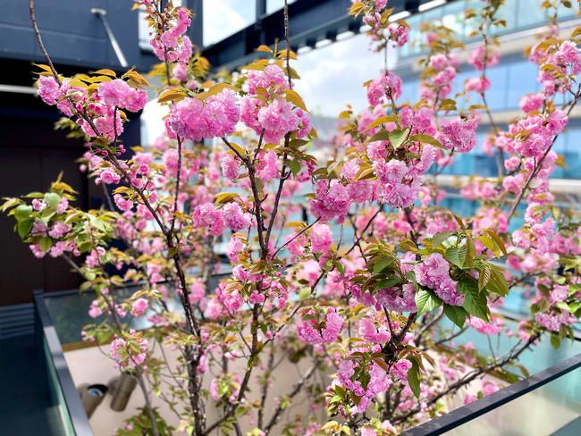 昼の八重桜