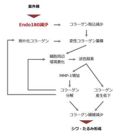 Endo180の減少を介した光老化進行メカニズム