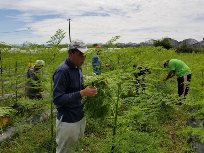 モリンガ栽培の「天草モリンガファーム」
