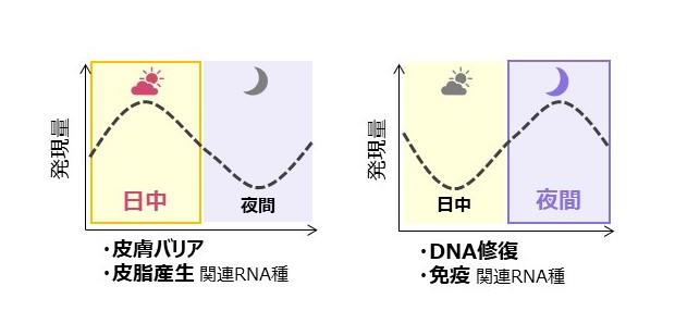 一日の中で発現変動する皮脂RNAと機能特徴