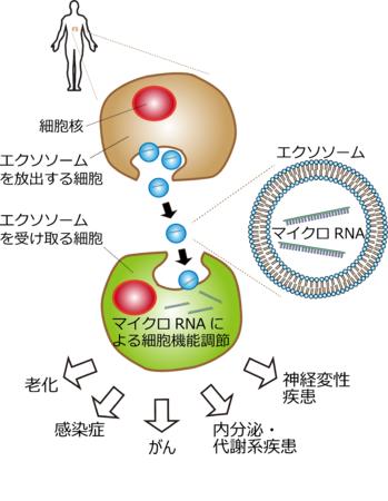 (図1)エクソソーム/マイクロRNAによる細胞間コミュニケーションと疾患とのつながり