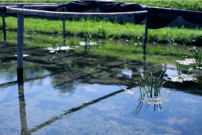 福岡県朝倉市の奇跡の小川とも呼ばれる、清流・清泉「黄金川」。