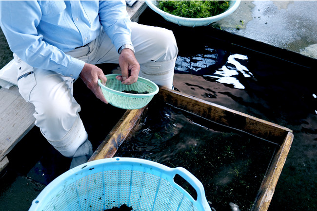 黄金川から収穫されたスイゼンジノリを草や藻と分別するため、熟練の職人が静かに一つ一つ手作業で丁寧にスイゼンジノリの洗浄・選別を行う。創業当初より守り続けてきた伝統製法で、痛みやすいスイゼンジノリを機械などに頼らず匠の手さばきで的確に素早く仕分される。