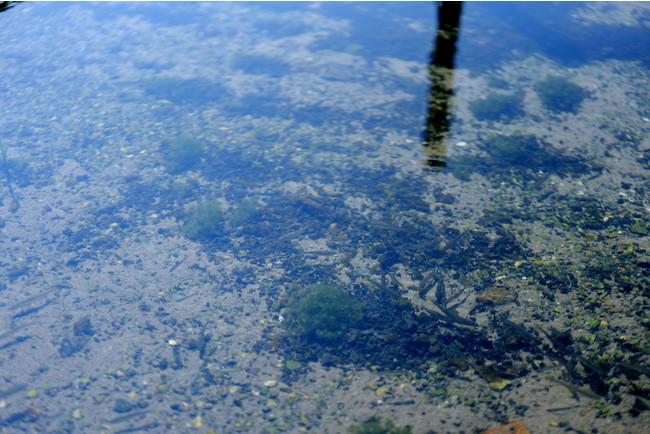 川床一面から驚くほど綺麗な湧き水が湧き出る黄金川。近年ではスイゼンジノリ以外にも8種の希少種を含む多様な動植物の生息が確認されており、黄金川は多くの希少水生生物にとって重要な生息場所となっている事がわかっている。
