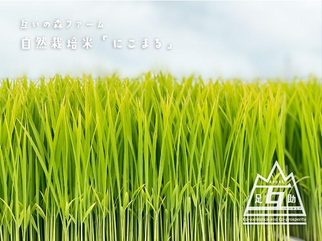 無農薬「自然米づくり」(米の品種は「にこまる」を栽培)