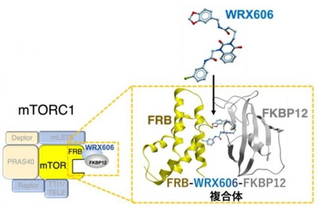 WRX606はFKBP12と結合後、mTORのFRB部位に結合し、mTORC1活性だけを精密に阻害する