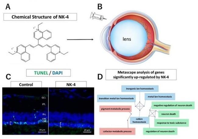 A. NK-4の化学構造  B. ラット眼球へのNK-4硝子体内注射  C. 対照(control)ではアポトーシス死細胞(緑)が多いが、NK-4注入眼では死細胞がない  D. NK-4投与で活性化される代謝経路