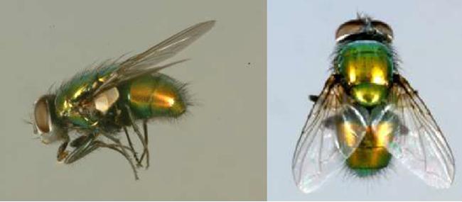 マゴットセラピーやビーフライに用いられるヒロズキンバエ。マゴットセラピーにはヒロズキンバエの幼虫(マゴット)を使用するがジャパンマゴットカンパニーの技術で無菌である
