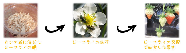 花粉媒介昆虫としてのヒロズキンバエ(商品名:ビーフライ)を利用したイチゴの促成栽培の例。イチゴ以外にマンゴーなどでも利用できる利点がある
