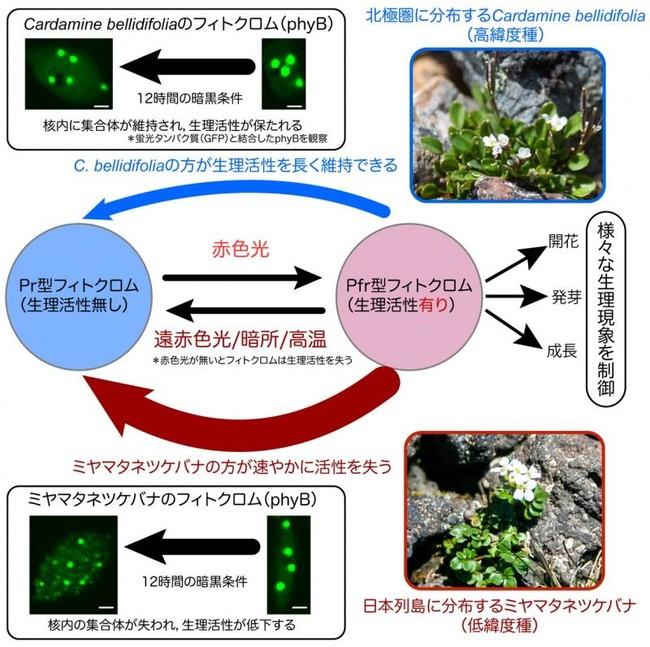 高緯度種と低緯度種で異なるフィトクロムの生理活性
