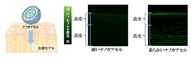 図1 浸透性評価のイメージ図と皮膚モデル断面を比較した顕微鏡写真
