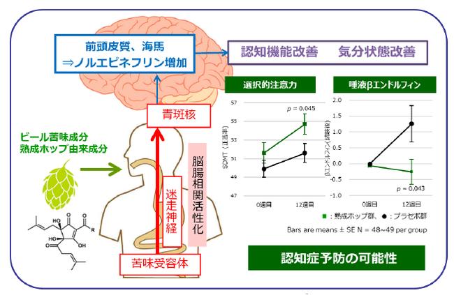 図:「熟成ホップ」に含まれるビール苦味成分による認知機能および気分状態改善