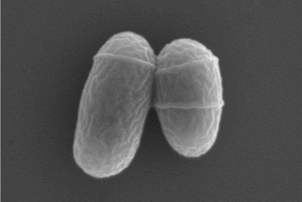 【発酵生産に用いるコリネ菌】