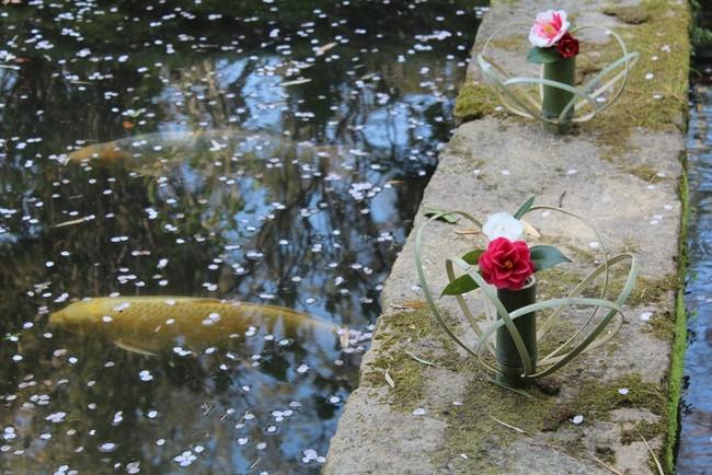 庭園下池の鯉と椿※画像は過去開催時