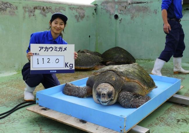 アカウミガメの体重測定(昨年の様子)