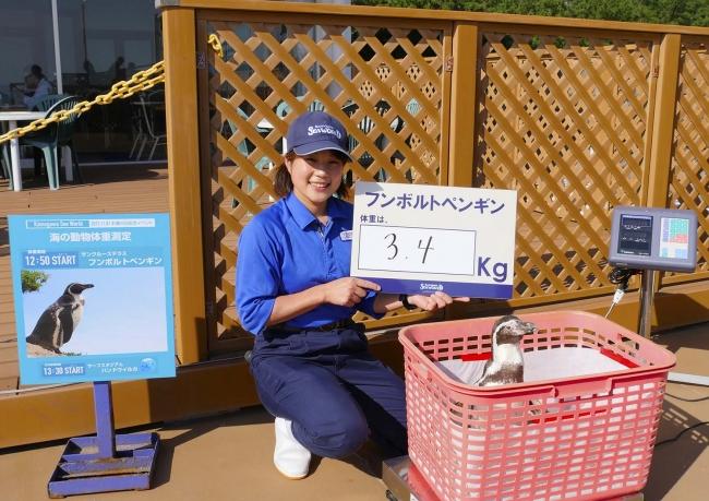 フンボルトペンギンの体重測定(昨年の様子)