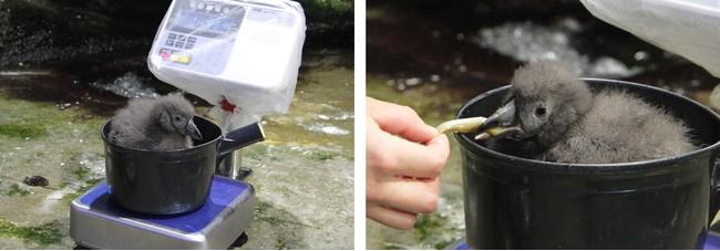 体重測定中のヒナ / 飼育員の手からエサのイカナゴを食べるヒナ