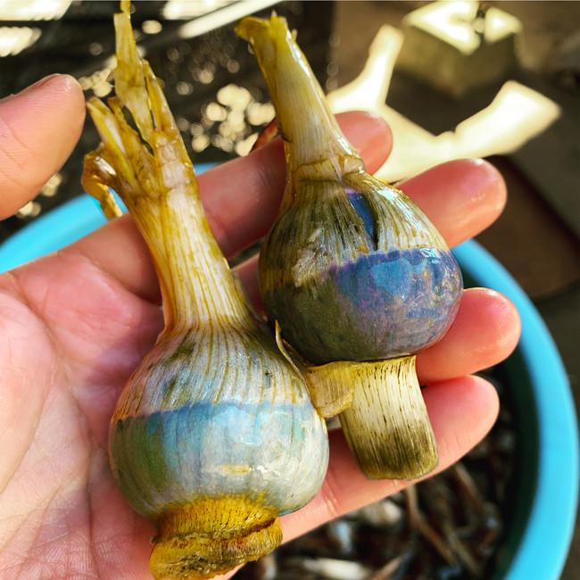 水田に眠る宝石 埼玉伝統の野菜「くわい」