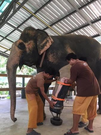 医療施設にて治療を受けるゾウ