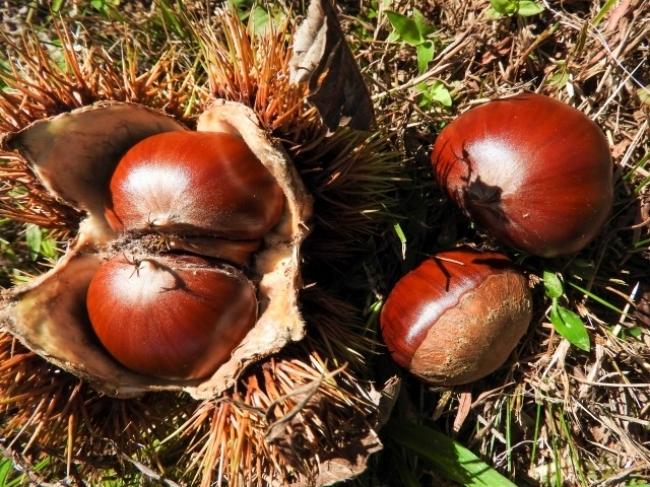菊池は栗の生産量が全国2位。  丹沢、  出雲、  杉光など7種類の栗が栽培されています。
