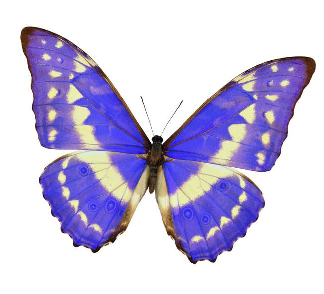 ブランド名「キプリス」の由来は、中南米の熱帯雨林に生息する世界で最も美しいとされる蝶類