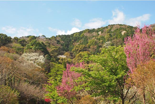 ヤマザクラが咲く4月のガーデン