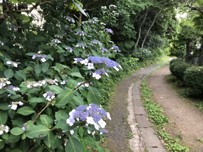 どこか懐かしい田舎道のあちこちに紫陽花が