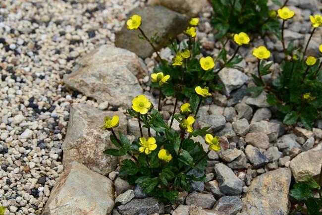 元気に開花したタカネキンポウゲ。絶滅危惧種コーナーに公開しています。