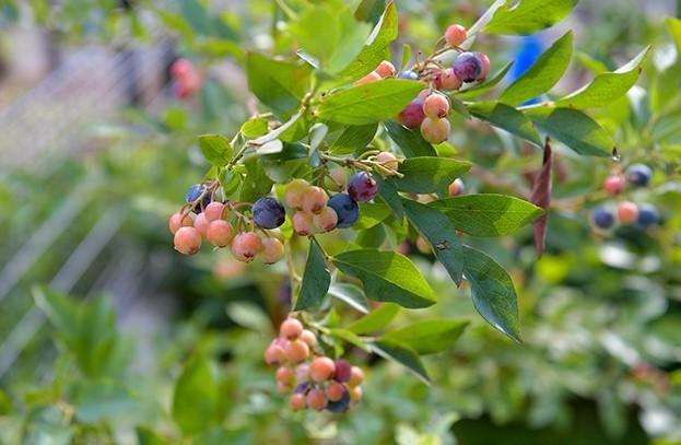 植栽:ブルーベリー